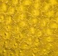 W 31 Flor - gelb